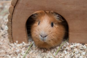 Portrait of red guinea pig in her wooden house