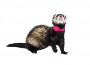 Marshall Pet Ferret Finder