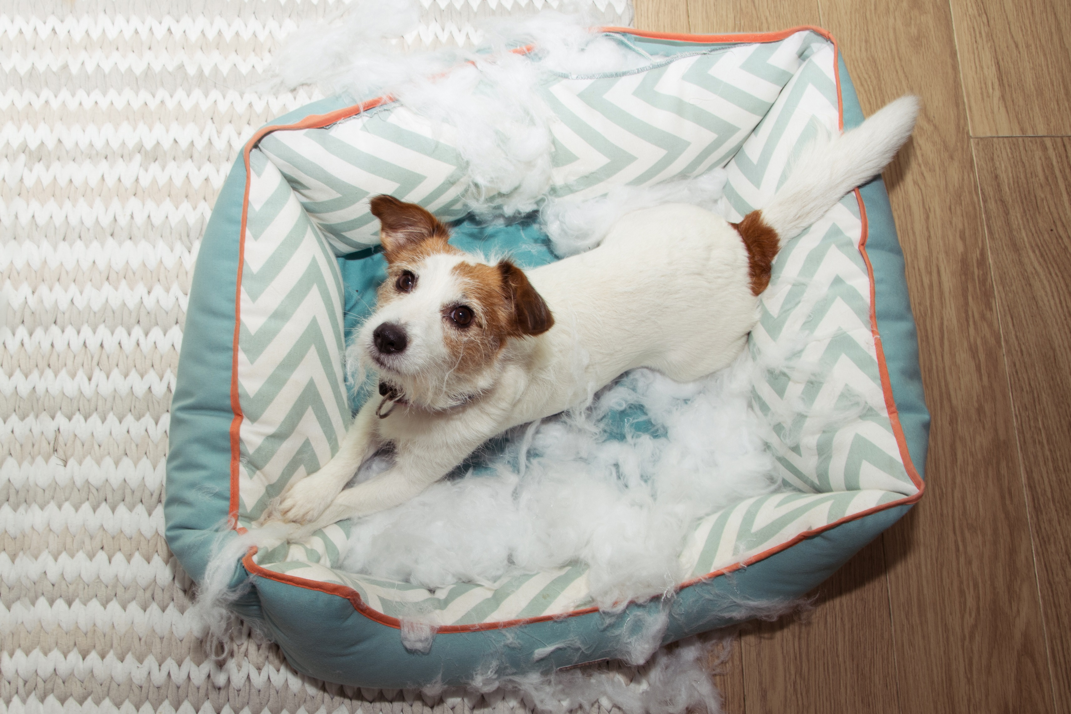 dog mischief disobey concept. jack russell terrier destroyed a f